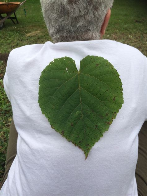 What Is This Plant? It Has Huge Heart-shaped Serrated