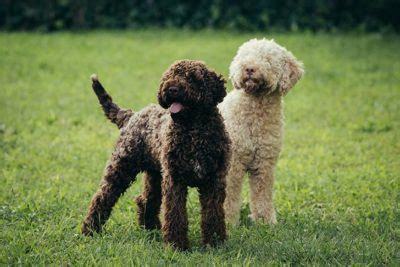 Lagotto Romagnolo Pictures - American Kennel Club